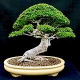 chinese                                                           elm