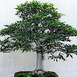 jap.birch                                                           tree seeds